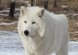 白色的野狼图片_12张