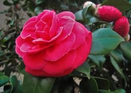 漂亮的红茶花图片_11张