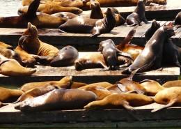 一群慵懶的海獅圖片_13張