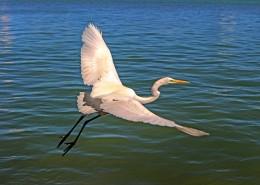 展翅飛翔的白鷺圖片_11張