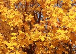 秋天金黃色的楓葉圖片_13張
