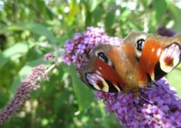 花叢中的孔雀蝴蝶圖片_12張