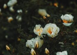 白色的花朵图片_10张
