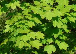 绿色的枫叶图片_13张