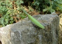 绿色霸道的螳螂图片_13张