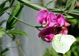 唯美的豌豆花圖片_12張
