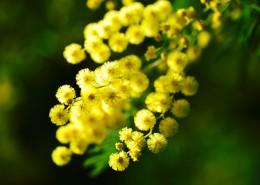 黄色的含羞草花朵图片_11张