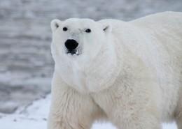 憨態可掬的北極熊圖片_15張