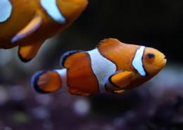海中的小丑魚圖片_10張