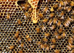 蜂巢上蜜蜂图片_16张