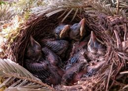 鸟巢中的雏鸟图片_11张