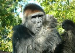 呆萌可愛的大猩猩圖片 _14張