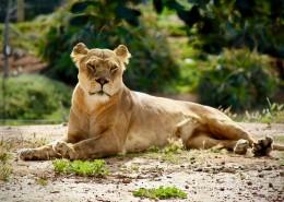 野生的母狮子图片_16张