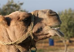 駱駝頭部圖片_12張