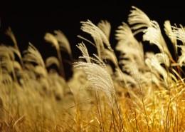 漂亮的蘆葦叢圖片_12張