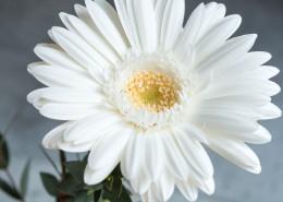 白色的非洲菊图片_12张