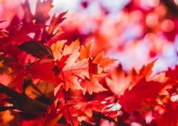 秋季唯美枫叶图片_16张