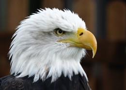 目光銳利的老鷹頭部特寫圖片 _14張