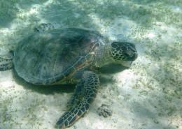 海洋里的海龜圖片_13張