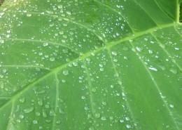 叶子上的水珠图片_11张