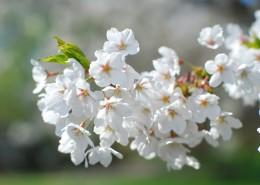 香氣撲鼻的白梅花圖片_15張