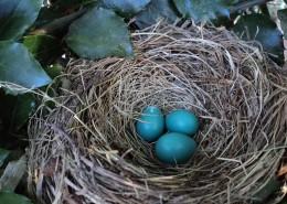 鸟巢中的鸟蛋图片_13张