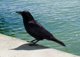 黑色羽毛的乌鸦图片_16张
