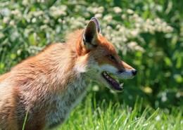 可爱灵气的狐狸图片_13张