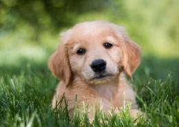 可愛的金毛尋回犬幼犬圖片_9張