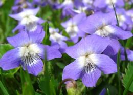 盛開的紫羅蘭圖片_15張
