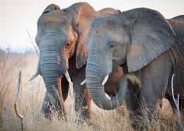 草原上的大象图片_12张