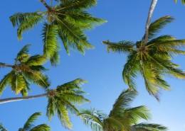 常绿乔木椰子树图片_14张