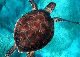 海中畅游的海龟图片_9张