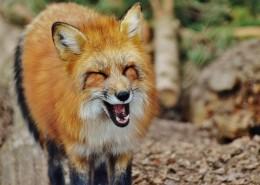 狡黠的狐狸图片_14张