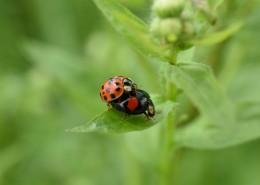 綠葉上的瓢蟲圖片_16張