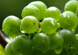 枝头上的绿葡萄图片_11张