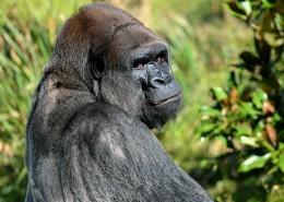 搞怪有趣的大猩猩图片_14张