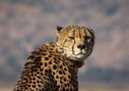 南非猎豹图片_12张