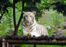 威武霸氣的孟加拉白虎圖片_14張