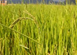 金灿灿的水稻图片_10张