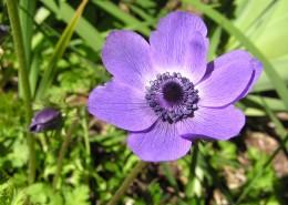 紫色銀蓮花圖片_9張