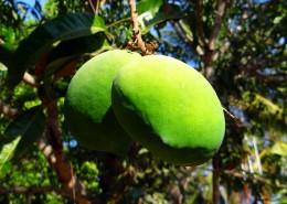 树枝上未成熟的芒果图片_12张