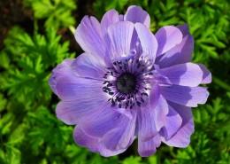 紫色日本银莲花图片_9张