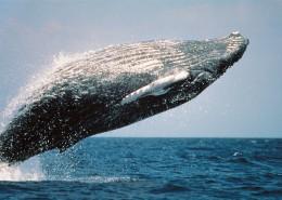 跃出水面的鲸图片_8张