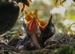 鸟巢中嗷嗷待哺的雏鸟图片_10张