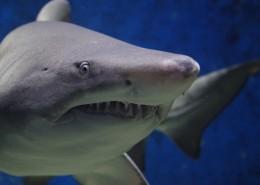 海洋中的鯊魚圖片_12張