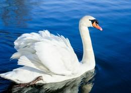 水中的白天鵝圖片_16張