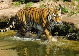 植物园里的老虎图片_16张