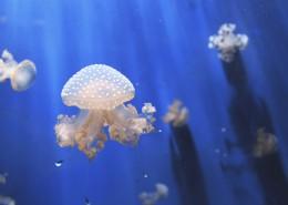海洋中的水母圖片_15張