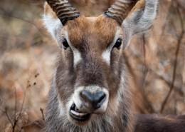 非洲羚羊图片_12张